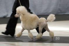 Miniature Poodle Continental Clip