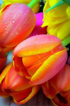Orange Tulip with Dew | by Gary