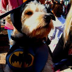 BatGirl! My Halloween puppy hero! My dog coco! :)