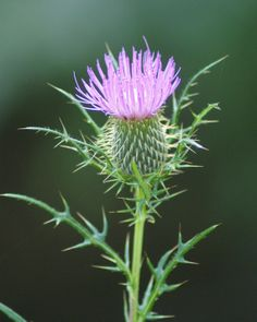 ADVICE OF THE DAY: For a stiff neck, apply a poultice of mashed thistle leaves or purslane soaked in linseed oil. Exotic Flowers, Wild Flowers, Beautiful Flowers, Scottish Thistle Tattoo, Thistle Flower, Thistle Plant, Natur Tattoos, Old Farmers Almanac, Medicinal Herbs