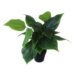 Philodendron-plant-45