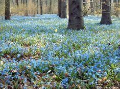 Image detail for -File:Berlin Tiergarten Springtime Scilla.jpg - Wikimedia Commons