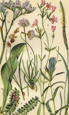 1922 Sand Sedge Sea Milkwort Marsh Gentian by CabinetOfTreasures, $16.95