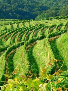Vineyard in Jeruzalem, Slovenia