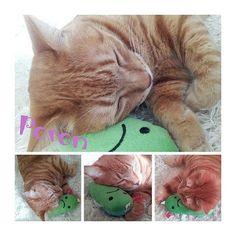 3月20日(月) 春分の日♪今週も宜しくお願いします(^-^)/ あんずのおもちゃを枕に(*˘˘*).。.:*♡ 最強ポロンに(笑)朝から癒されました♡  #連投スミマセン  #茶猫  #cat  #ポロン  #癒し寝顔  #sleepcat  #眠り姫  #保護猫  #にゃんずLIFE  #にゃんこらぶ  #lovecat  #溺愛  #愛猫  #pet  #petlove  #わんにゃん大好き  #わんにゃんLIFE  #わんにゃんとsmile生活  #殺処分ゼロ  #殺処分断固反対  #世界中の子達が幸せになりますょうに