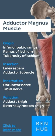 This is one of the biggest #muscles of the human body. It originates at the inferior pubic ramus, the ischial ramus and the ischial tuberosity and inserts both at the linea aspera and the adductor tubercle. #learn #anatomy