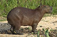 Capybara: the world's largest rodent. Not a bad title to have...