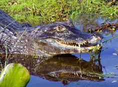 World Stuff Online Generators Crocodiles, Alligators, Reserva Natural, World Records, Famous Celebrities, Fauna, Latest Movies, World History, Art And Architecture