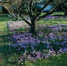 Hampshire: crocus tomasinianus growing under apple trees in the orchard | Flickr - Photo Sharing!