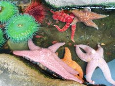 Sea Stars in the touching pool
