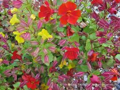 Mimulus (Monkey Flower) - Plant Categories - The Tortoise table