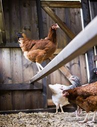 Get your chicken coop ready for winter with these 6 winterizing chores. #PurelyPoultry