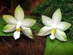 Phalaenopsis Violacea | Vaizdas:Phalaenopsis violacea var. alba Orchi 04.jpg – Vikipedija
