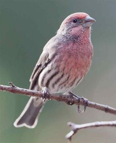 Perched Male House Finch