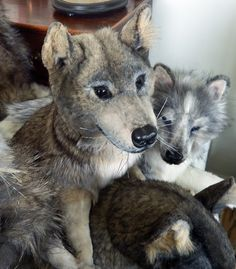 Hello My Name Is Winston I Am A Grey Wolf Resting Now After Rather