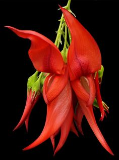 Clianthus puniceus flower buds [Parrot's Beak, Lobster Claw] endemic to North Island, New Zealand