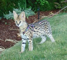 Savannah kitten (Serval mixed with a domestic cat)