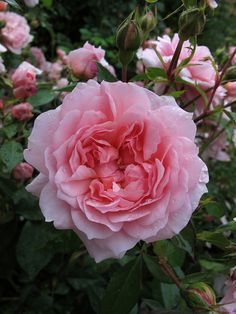 Anne Boleyn A demure little rose, very pretty in a pot, although this flower is from a standard (tree) rose