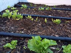 Lettuce, spinach, and carrots. 4-20-2015