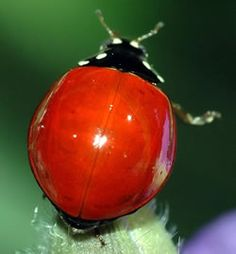 Ladybugs spots fade as they age. This one must be 'old'