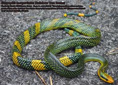 Rainbow Tree Snake