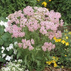 Achillea millefolium Roze (Duizendblad) x 3 kopen veilig online bestellen