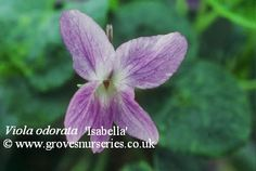 Isabella Violet. (Kimberly, West Winds Nursery, Hereford; 2000)  A sport of Alice. Pale lavender flowers with permanently deeper veins. Bud is Medium Blue. Very attractive. Sweetly scented flower on long stems make it great for cut flowers.