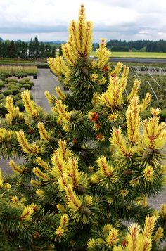 Klehm's Song Sparrow Farm and Nursery--Woody Plants--Pinus contorta 'Taylor's Sunburst'