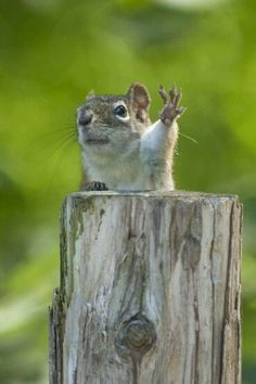 Talk to the hand! This is the second squirrel like this with his hand raised, hmmm- what made them develop such a gesture? Nature Animals, Animals And Pets, Baby Animals, Funny Animals, Cute Animals, Wild Animals, Cute Creatures, Beautiful Creatures, Animals Beautiful