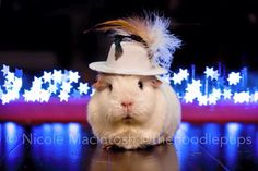 Guinea pig in a hat! Animals And Pets, Baby Animals, Cute Animals, Guinea Pig Costumes, Pig Pics, Cute Piggies, Interesting Animals, Pig Party, Guinea Pigs