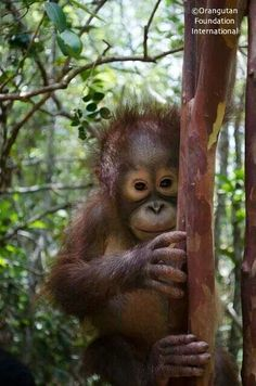 Sweet baby Ben, orphaned orang at the Orangutan Foundation International rescue centet