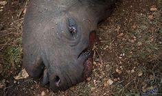 """ارتفاع سعر """"قرن"""" وحيد القرن يُغري الصيادين…: ارتفع سعر قرن حيوان وحيد القرن بشكل كبير، حيث يعتقد حاليًا بأن قيمته أكثر من وزنه ذهبًا، ما…"""