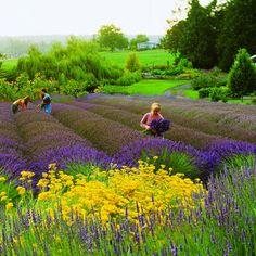 Montague Ca Lavender farm | lavender and yellow helichrysum carpet purple haze lavender farm ...