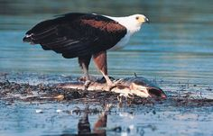 The African Fish Eagle/ Орлан-крикун
