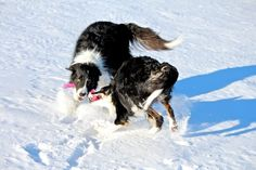What makes your dog happy? A post by Patricia McConnell of The Other End of the Leash  Tug Snow W & M 1- Jan 2016