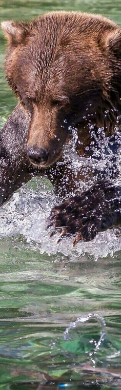 Grizzly Bear Splash!