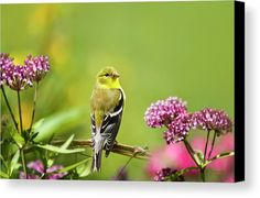 American Goldfinch-2 Canvas Print by Christina Rollo.  All canvas prints are professionally printed, assembled, and shipped within 3 - 4 business days and delivered ready-to-hang on your wall. Choose from multiple print sizes, border colors, and canvas materials.