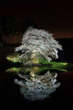 Cherry Blossom, Saga, Japan by Katsushi Tanaka Bonsai, Beautiful World, Beautiful Places, Cherry Blossom Japan, Cherry Blossoms, Mont Fuji, Japan Garden, Nocturne, Pretty Pictures