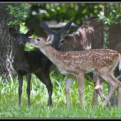 EVER SEEN A BLACK DEER? They are called melanistic -- the opposite of albino. Pictures taken by RJ Verge near Beamsville On. Canada. Black deer are more rare than albinos. So cool!