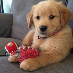 @gus_the_golden_ so lovely  #dogsofinstagram #dog #goldenretriever #cutepuppy