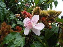 Spacing for asian jasmine