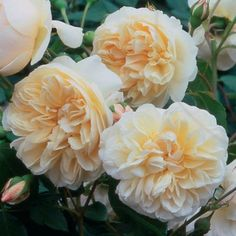 Lichfield Angel English Rose  Peachy pink buds develop into creamy white blooms. Light fragrance with strong elements of clove at one stage....
