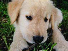 Golden Retriever Puppy: Baby Duke
