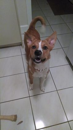 Wiley came to us from an abusive situation but that hasn't affected her loving personality at all. She is a sweet, fun loving 1 year old Australian Cattle Dog mix. Her eyes are just gorgeous. 1 is completely blue, while the other is 1/2 blue and 1/2...