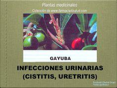 #DiSalud con Plantas Medicinales: #Gayuba
