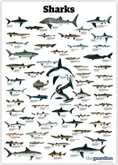 trynottodrown: a few different shark species (full size)- Requin Bleu Shark Bait, Kunst Poster, Great White Shark, Marine Biology, Ocean Creatures, Shark Week, Ocean Life, Marine Life, Beautiful Creatures