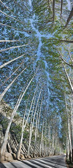 Awesome Views of Tree Tops #REalPalmTrees www.ronstreeserviceandfirewood.com