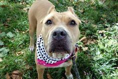 ●9•27•16 STILL THERE●Manhattan center MAMA MIA aka MIA – A1091136 **SAFER: AVERAGE HOME** FEMALE, TAN / WHITE, AMERICAN STAFF MIX, 3 yrs OWNER SUR – EVALUATE, NO HOLD Reason ALLERGIES Intake condition UNSPECIFIE Intake Date 09/25/2016, From NY 10457, DueOut Date 09/25/2016, I came in with Group/Litter #K16-075471.