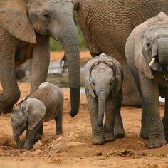 redwingjohnny:    Baby African Elephants  bynaturalnomad