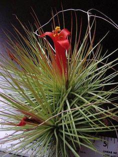 Tillandsia andreana, Plant Oddities